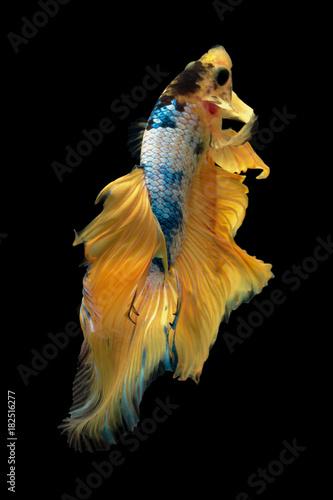 yellow fancy