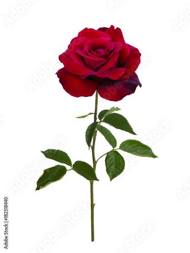 Fotografia  Dark red rose