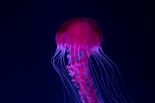 Jellyfish In Aquarium , Pink J...
