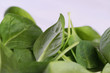 Green leaves of fresh spinach