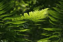 Leaf Of Green Fern On A Blur N...