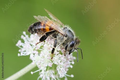 Photo Western honey bee, Apis mellifera, important pollinator