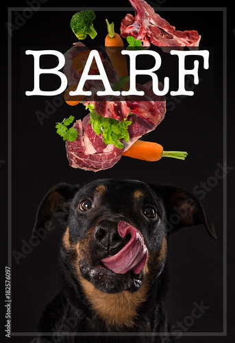 Rottweiler with tired tongue. Concept of barf meal.