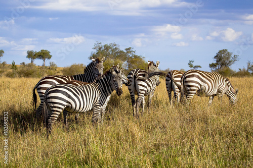 Fotomural  A herd of zebra stand and graze in the open grassland of Kenya's Masai Mara Park