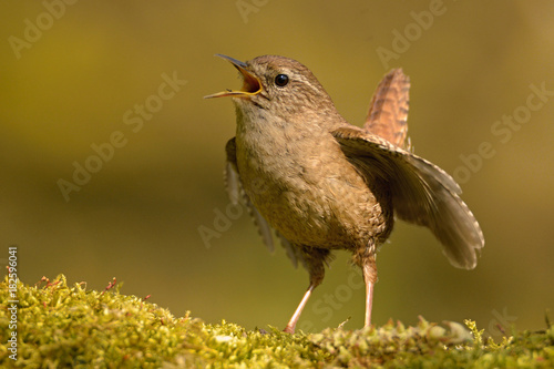 Fotografie, Obraz  The Eurasian wren (Troglodytes troglodytes) is a very small bird, and the only member of the wren family Troglodytidae found in Eurasia and Africa