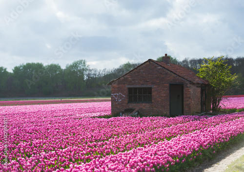 Tuinposter Lavendel Tulips field in holland