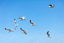 Flock Of Fighting Flying Seagull And The Blue Summer Sky In The Background