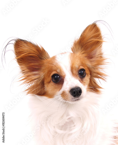 Pet Papillon Dog Buy This Stock Photo And Explore Similar Images