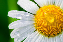 Chamomile Or Camomile Flower W...
