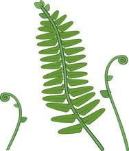 Green Fern Leaves And Unfurlin...