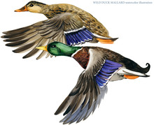 Illustration Of Colored Duck