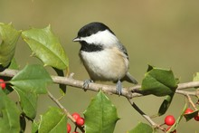 Black-capped Chickadee (poecile Atricapilla) On Holly