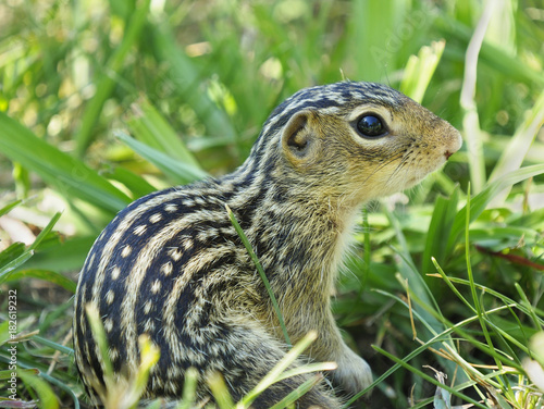 Fotografie, Obraz  Extreme Closeup of a Thirteen-Lined Ground Squirrel in the Grass