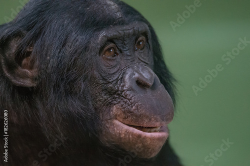 Foto op Canvas Aap Portrait of funny and smiling Bonobo, close up