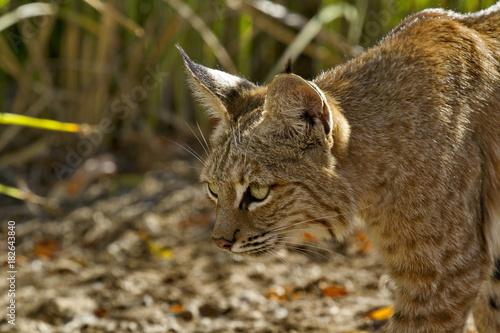 Fotografering  Alert bobcat stalks prey with patient stealth
