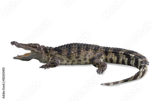 Foto op Canvas Krokodil Freshwater crocodile isolated with clipping path.