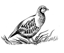 Partridge Bird. Black And White Ink Illustration.