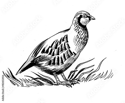 Photo Partridge bird. Black and white ink illustration.