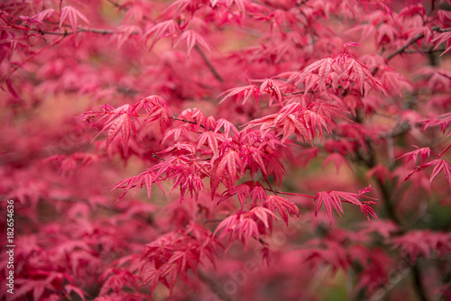 Photo Background of red acer leaves in park