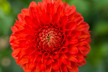 Red Dahlia Front View