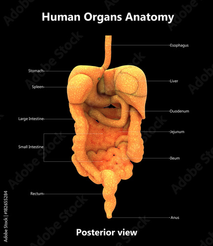 Human Digestive System Anatomy With Detailed Labels Posterior View