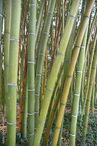 Poster Bamboe Bambous verts au jardin en été