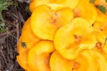 Close Up - Orang-ish Yellowish / Omphalotus Olearius 2