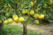 Ripe And Green Pomelo Fruit Tr...