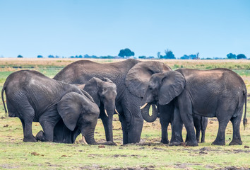 Large elephant herd taking a bath in the Chove river, Chobe Riverfront, Serondela, Chobe National Park, Botswana