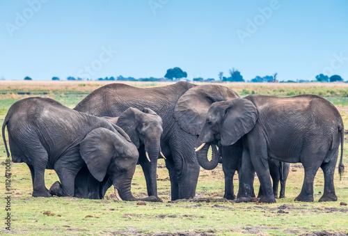 Foto op Plexiglas Afrika Large elephant herd taking a bath in the Chove river, Chobe Riverfront, Serondela, Chobe National Park, Botswana