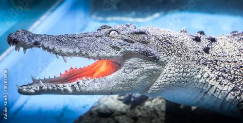 Poster Crocodile Salt-water crocodile