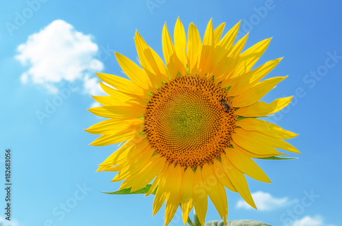 sunflower with bee closeup on blue sky background
