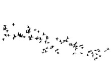 Flock Of Ducks Floating On Sky On A White Background