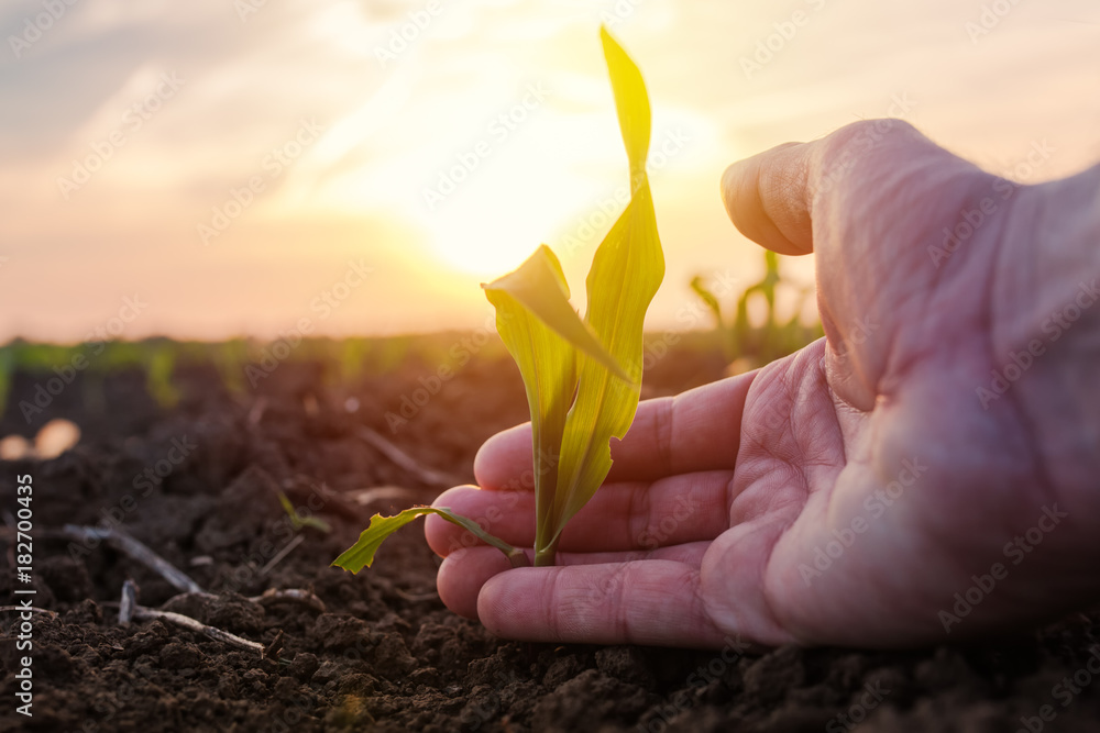 Fototapety, obrazy: Farmer examining young green corn maize crop plant