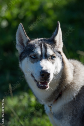 Canvas Prints Dog Siberian husky dog portrait isolated on green background