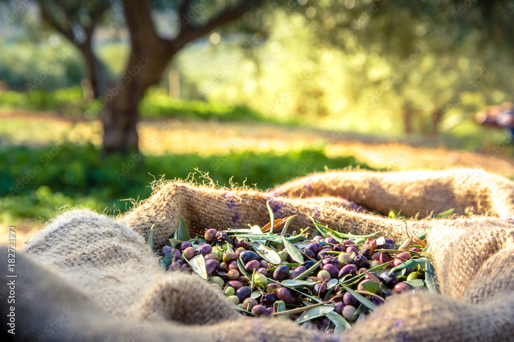 Fototapety, obrazy: Harvested fresh olives in sacks in a field in Crete, Greece for olive oil production