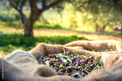Poster Olijfboom Harvested fresh olives in sacks in a field in Crete, Greece for olive oil production