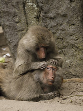 Pawian Małpy Czyszczące Futro