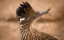Eye Contact With A Roadrunner