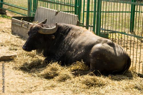 Foto op Aluminium Buffel Portrait of asiatic water buffalo (Bubalus arnee)