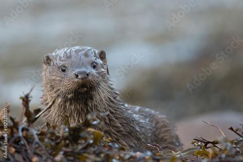 Obraz na plátně Close-up of wet Eurasian otter cub (lutra lutra) looking towards camera on the i