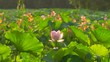 Beautiful lotus flower blooms in the pond, China