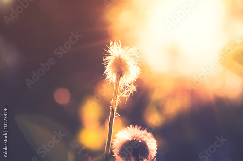 Canvas Prints Dandelion Faded flower of coltsfoot with fluffy head on a background of bright burning sunlight.Springtime. Tussilago blossom.