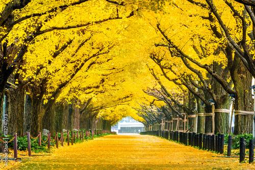 Foto auf Leinwand Melone Row of yellow ginkgo tree in autumn. Autumn park in Tokyo, Japan.