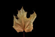 dry maple leaf isolated on a black background