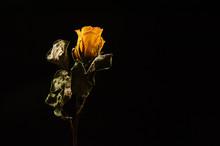 Dry Yellow Rose On Black Dark Background.