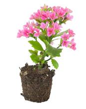 Beautiful Pink Kalanchoe Bloss...