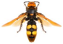 The Mammoth Wasp Megascolia Ma...