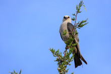 A Watchful Mississippi Kite (Ictinia Mississippiensis) Perched In A Tree