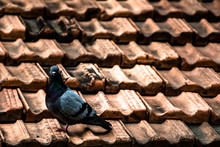 Lonely Pigeon On A Roof